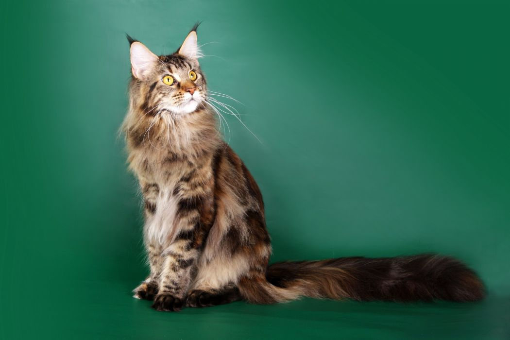 Cats Maine Coon Glance Fluffy Animals wallpaper