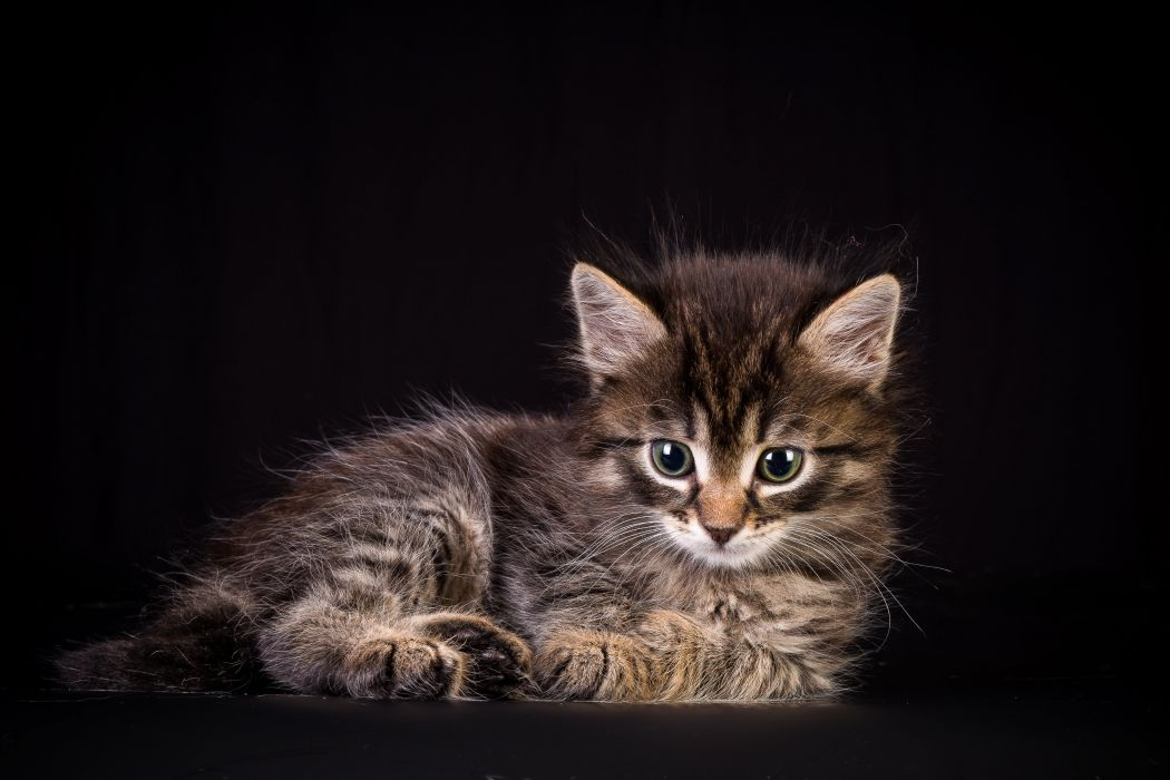 Cats Kitten Glance Animals wallpaper