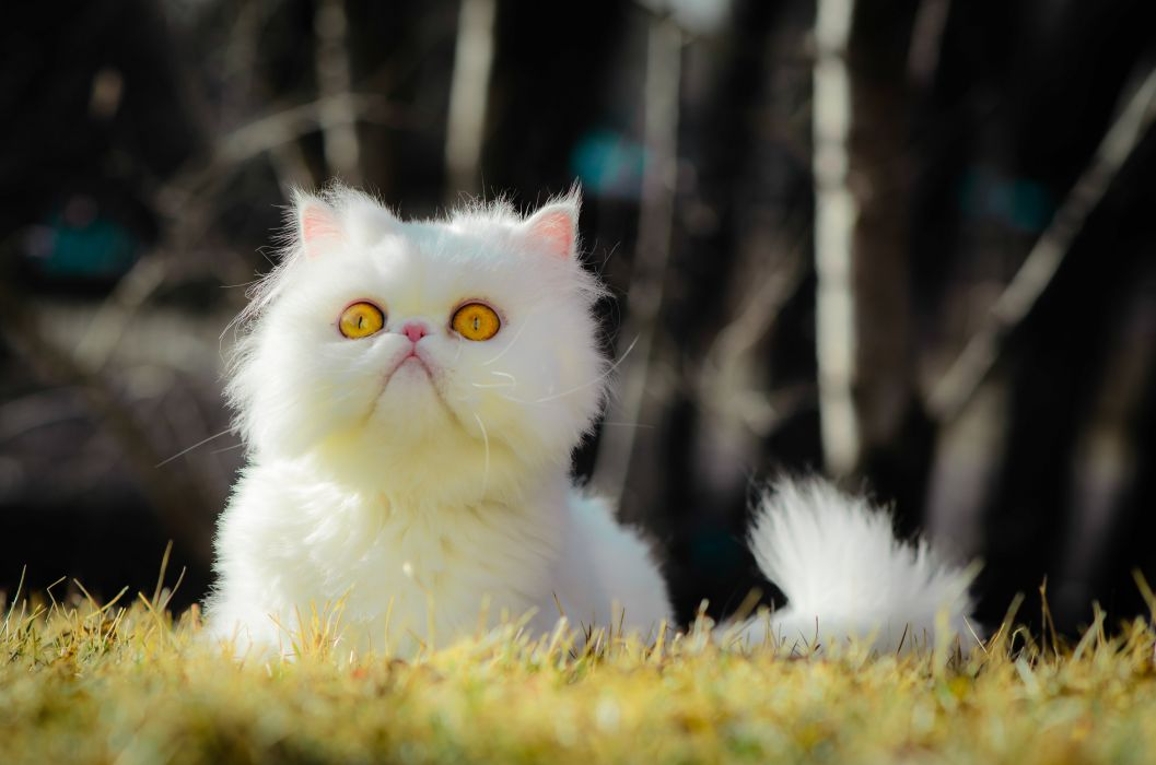 Cats Glance White Fluffy Animals grumpy wallpaper