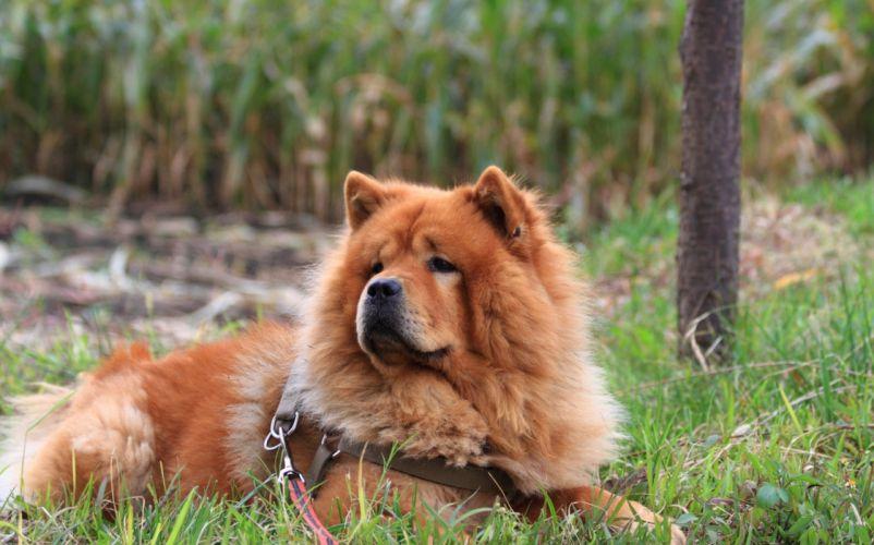 dog chow chow grass w wallpaper