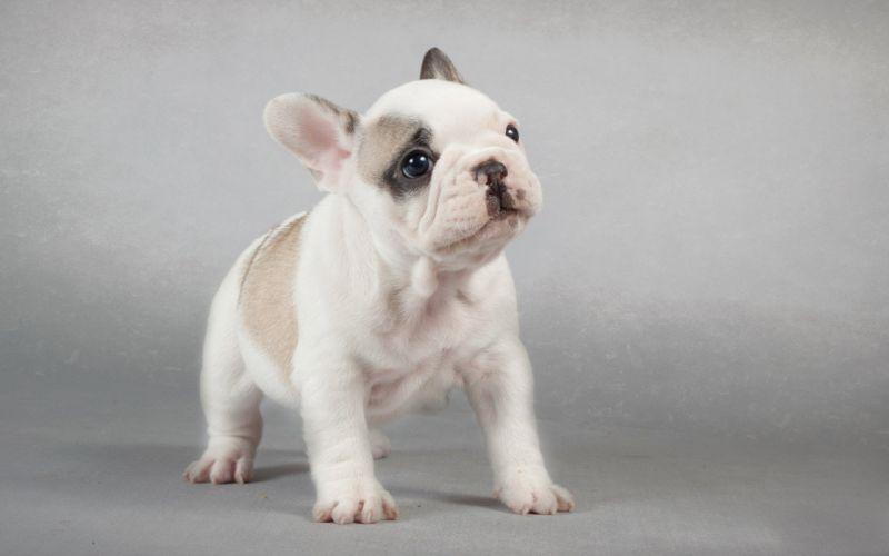 dog puppy e wallpaper