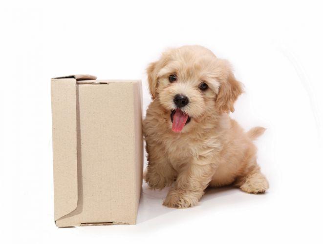 Dogs Puppy Box Animals wallpaper