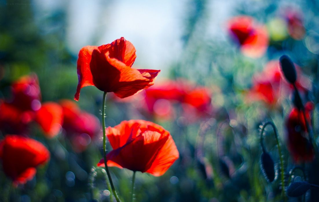 glare blurring poppies red bokeh wallpaper