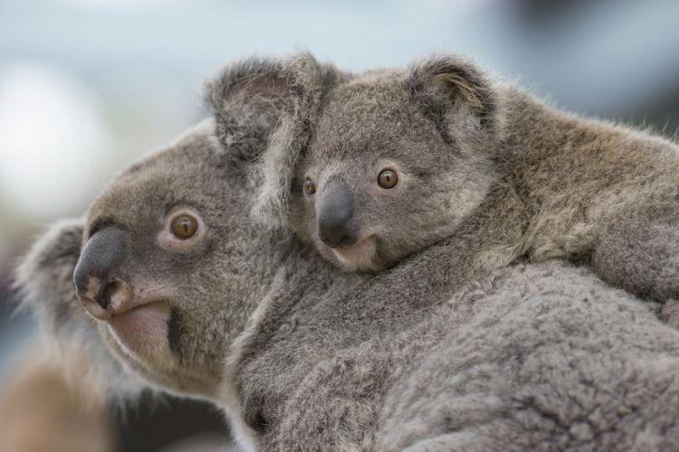 Koala s wallpaper