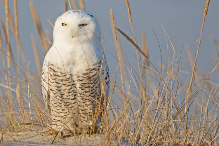 owl koloski pesok bird wallpaper