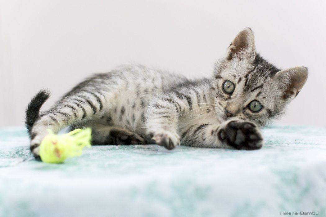 play baby cat kitten wallpaper