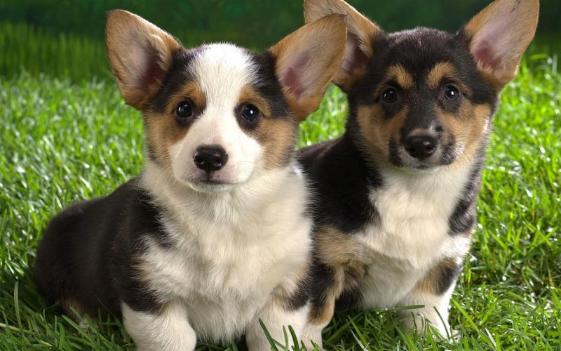puppy grass The ears muzzle wallpaper