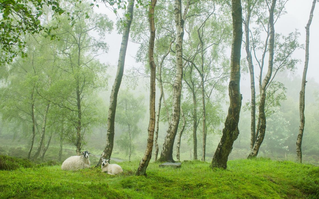 trees meadow sheep nature forest fog wallpaper