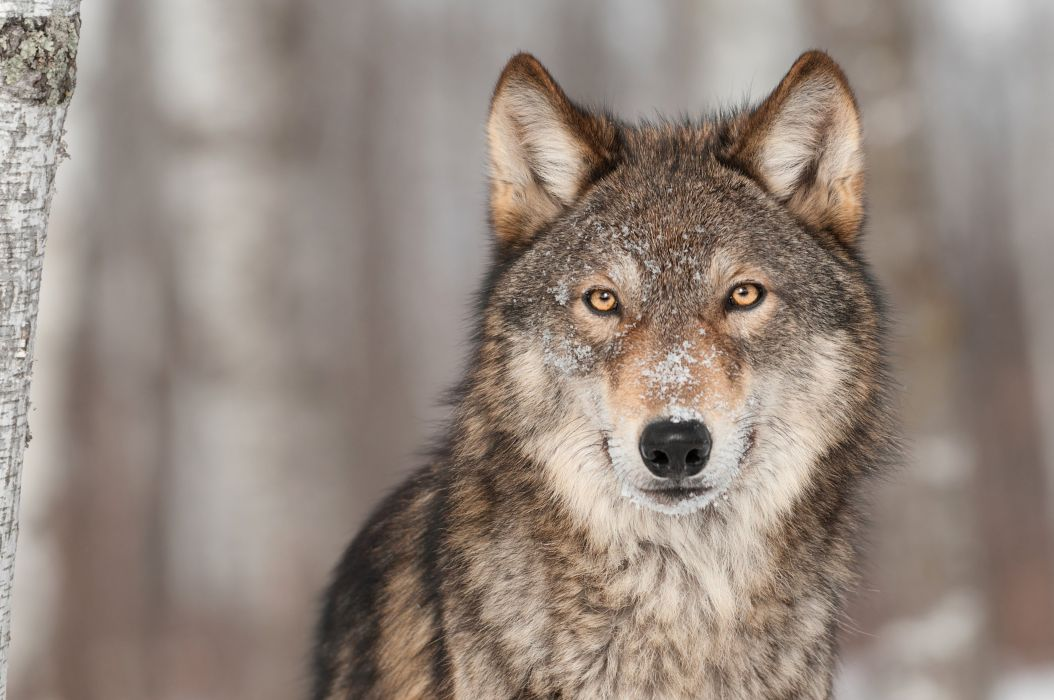 Wolves Glance Animals Wolf Wallpaper