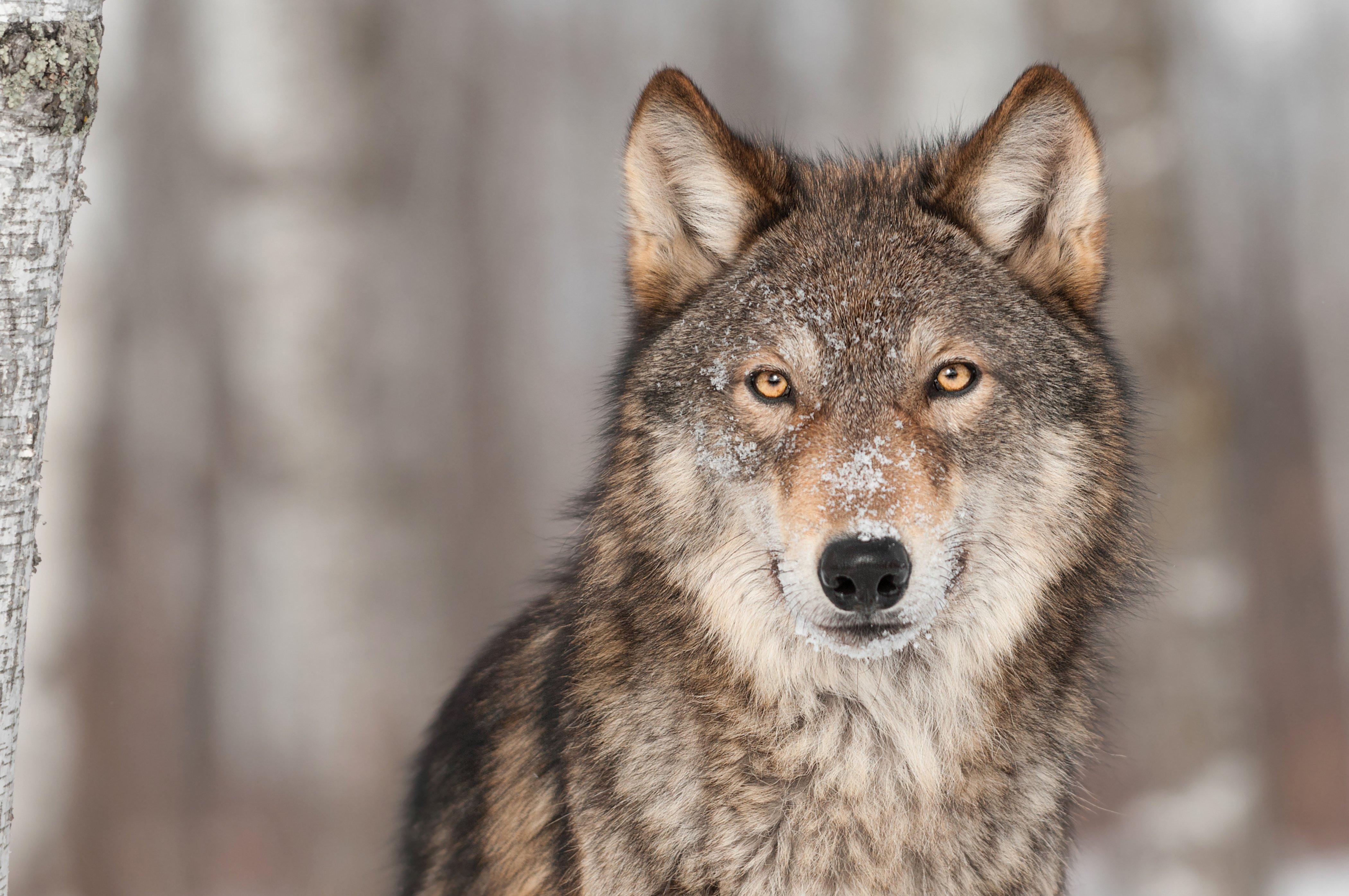 Wolves Glance Animals wolf wallpaper 4200x2790 416760