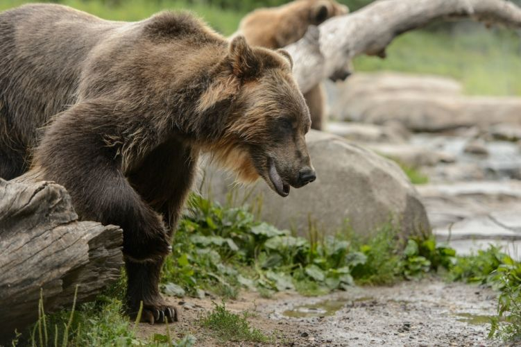 grizzly bear young face wallpaper