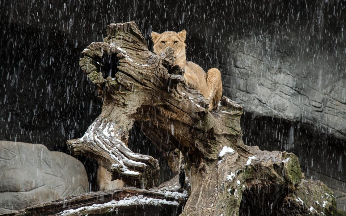 lion wild cat predator timber snow winter wallpaper