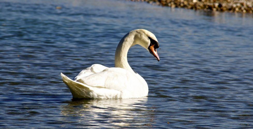 swan white grace pond ripples wallpaper