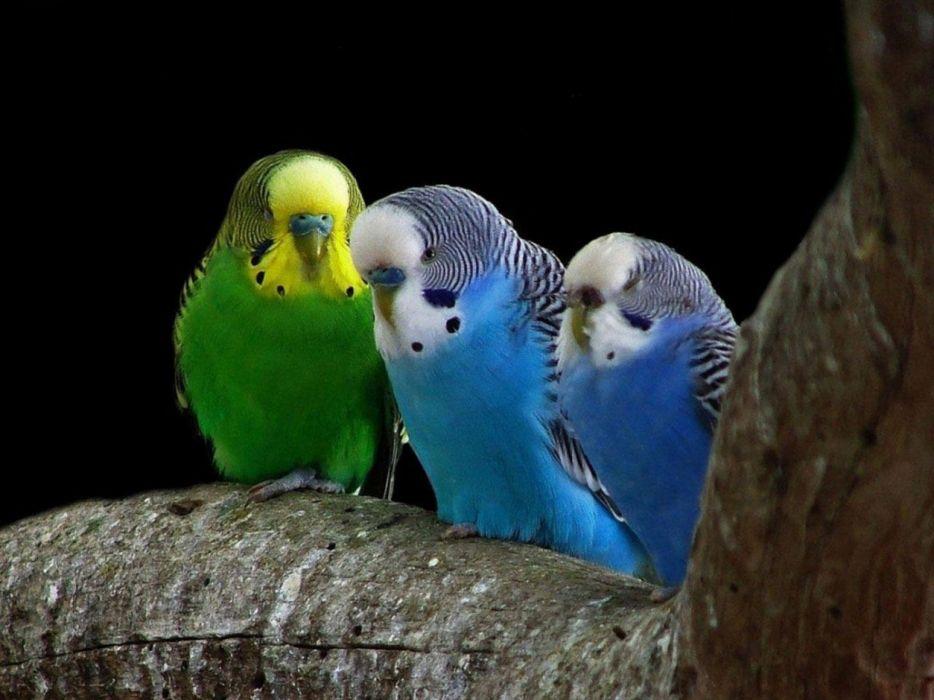 birds parakeets budgerigar Animals Birds wallpaper