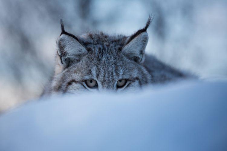 Big cats Lynx Glance Animals wallpaper