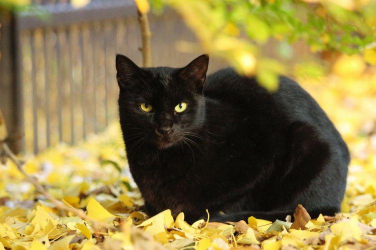 leaves yellow Autumn cat Black wallpaper