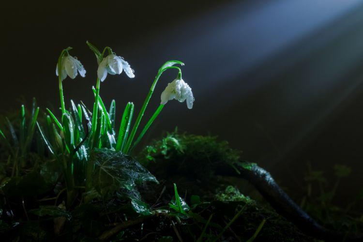 pring grass moss flowers snowdrops rays light bokeh wallpaper