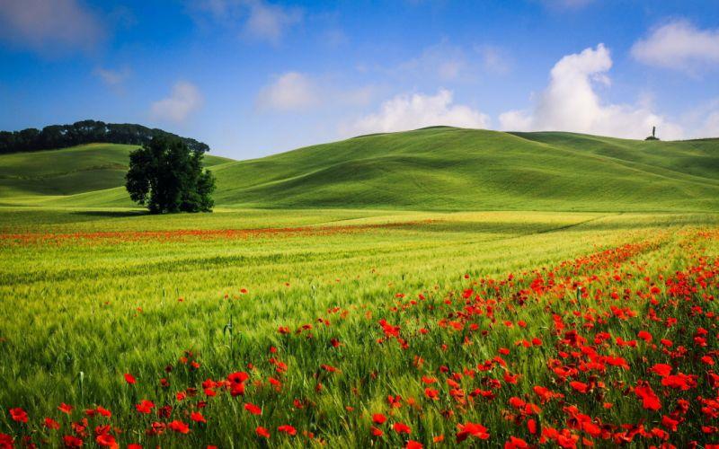 landscape poppies field summer wallpaper