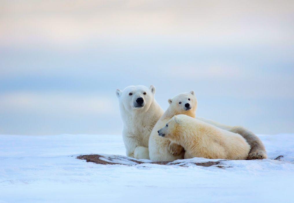 bear polar bears wallpaper