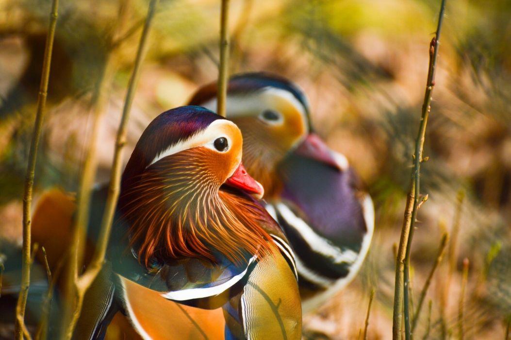 bird pestraya klyuv aeYaeYcolor duck wallpaper
