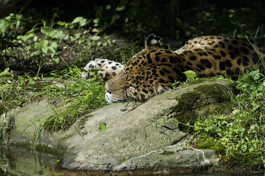 jaguar wild cat predator sleep rest thickets wallpaper