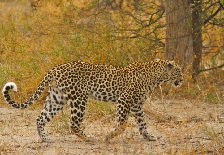 leopard wild cat predator spot walk Africa wallpaper