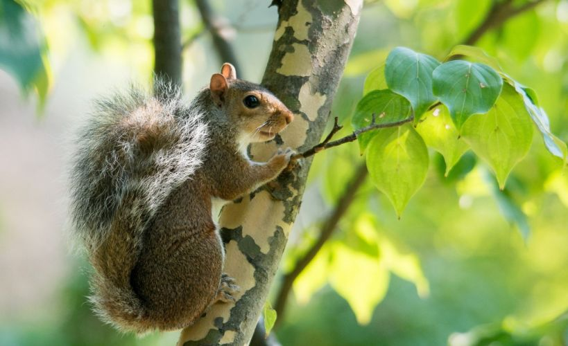 squirrel rodent animal tail fur branch wallpaper