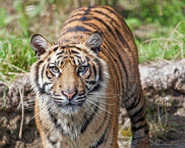 tiger wild cat predator face wallpaper