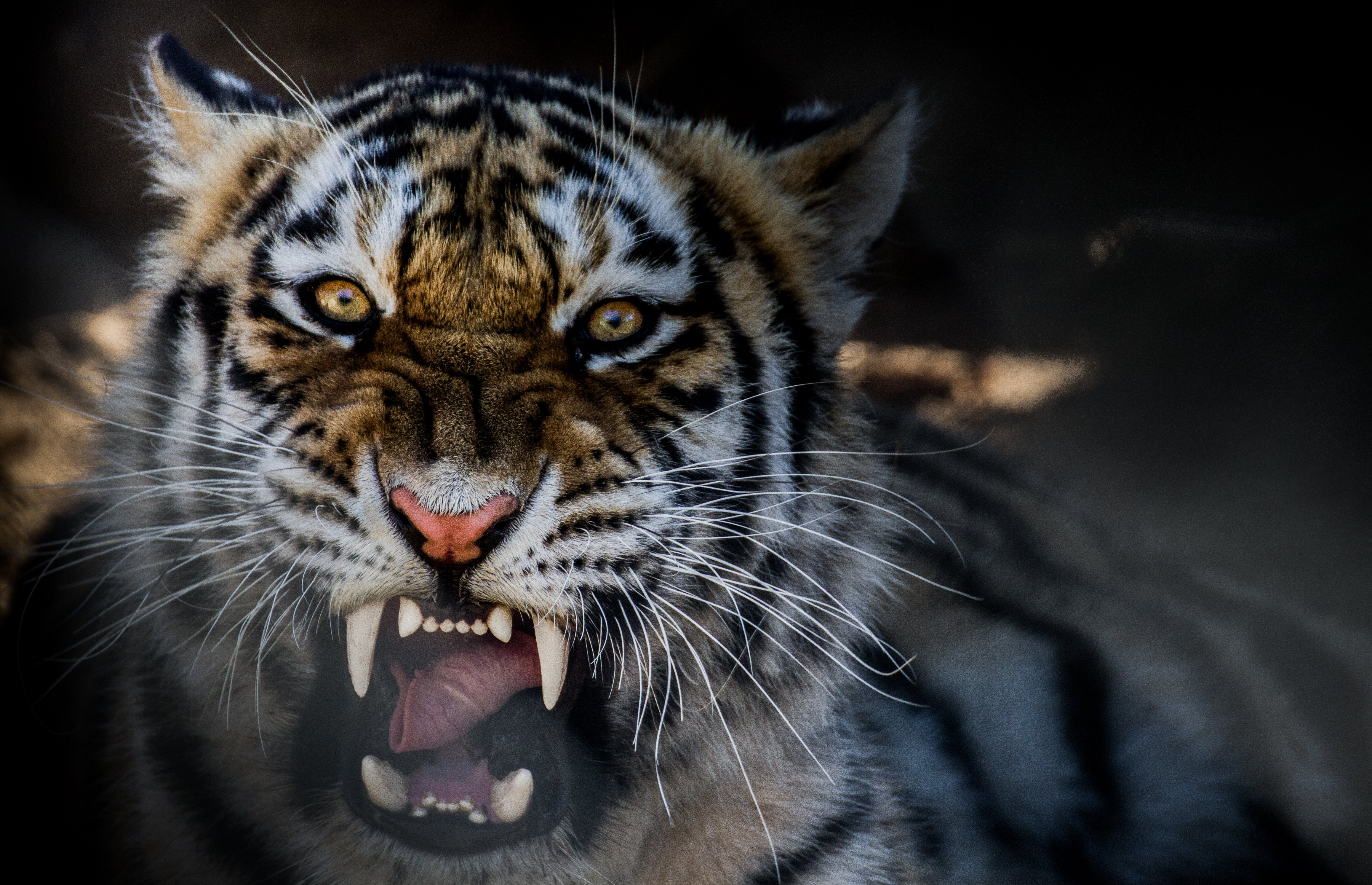 animal tiger growling wallpaper | 4630x2985 | 424262 | wallpaperup