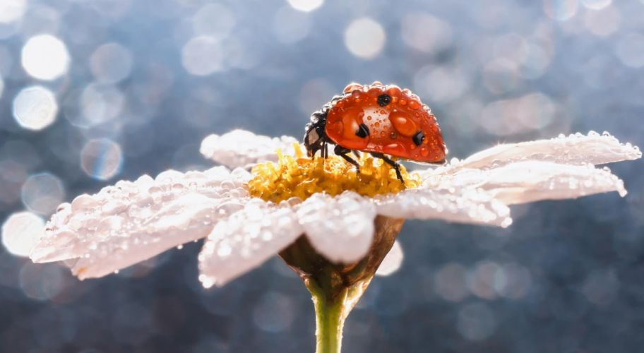 macro insect ladybug dew drops daisy flower wallpaper