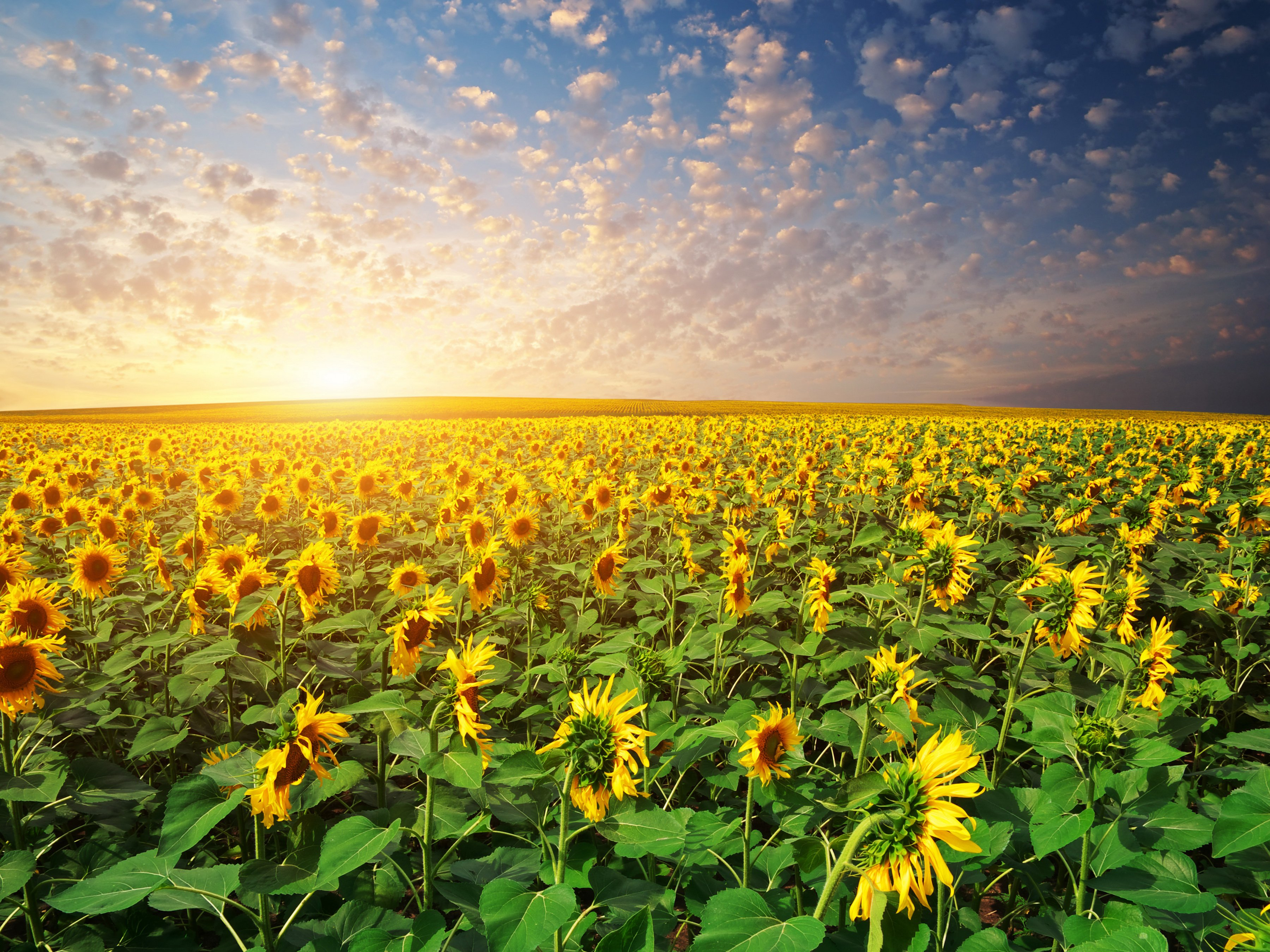 scenery fields sunflowers sunrises and sunsets sky nature