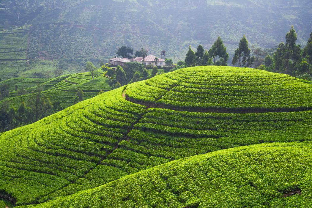 Scenery Fields tea plantation Nature wallpaper
