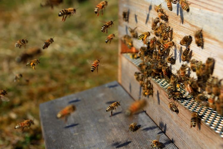 bee hive a swarm of insects wallpaper