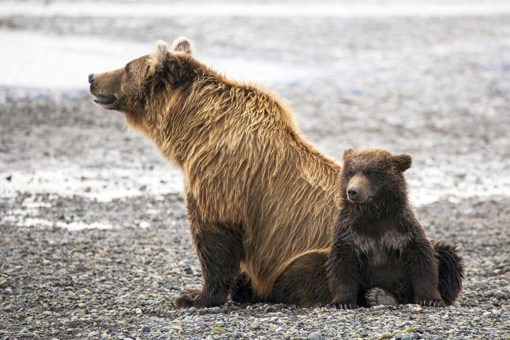 Bear Brown Two Animals wallpaper