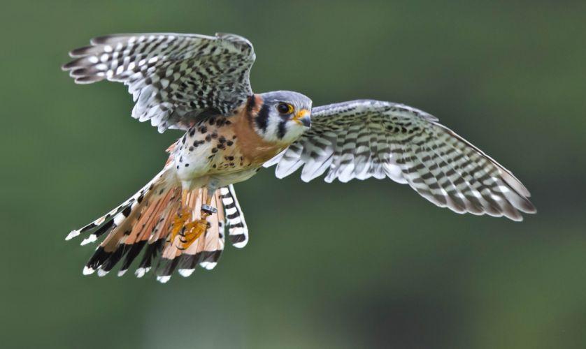 bird flying wings falcon kestrel sparrow wallpaper