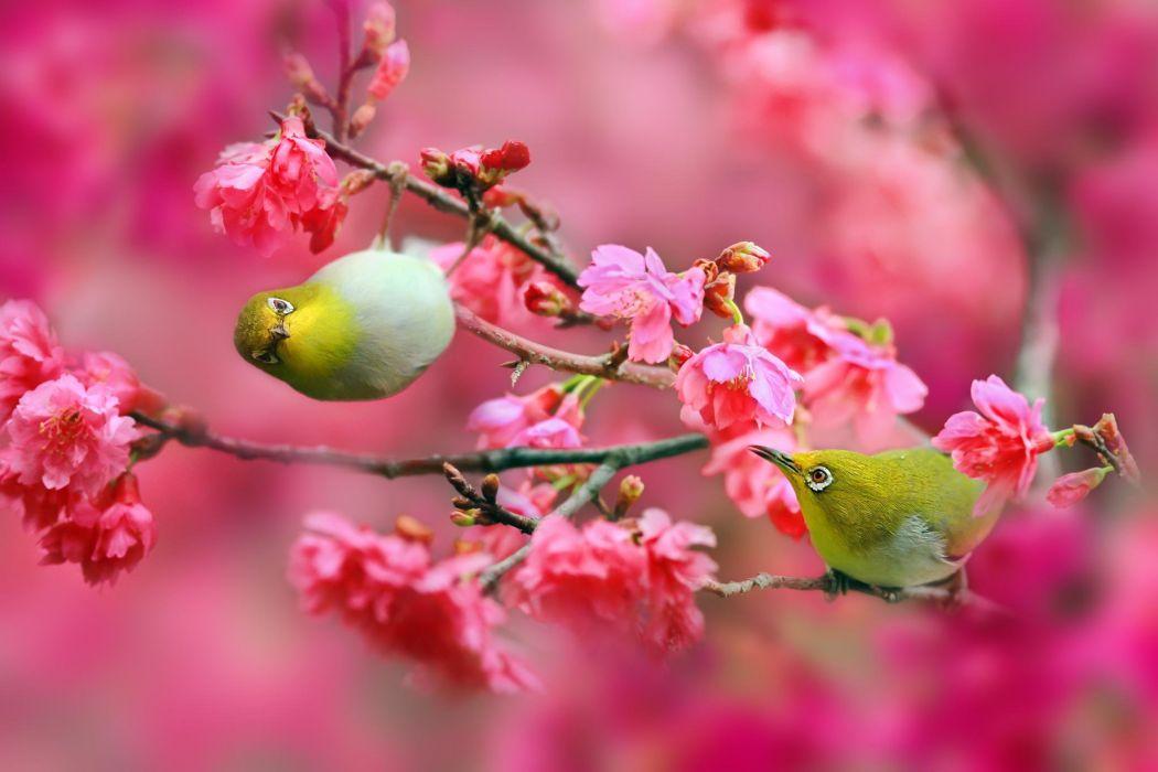 Birds Japanese white-eye cherry cherry flowers pink branches nature wallpaper