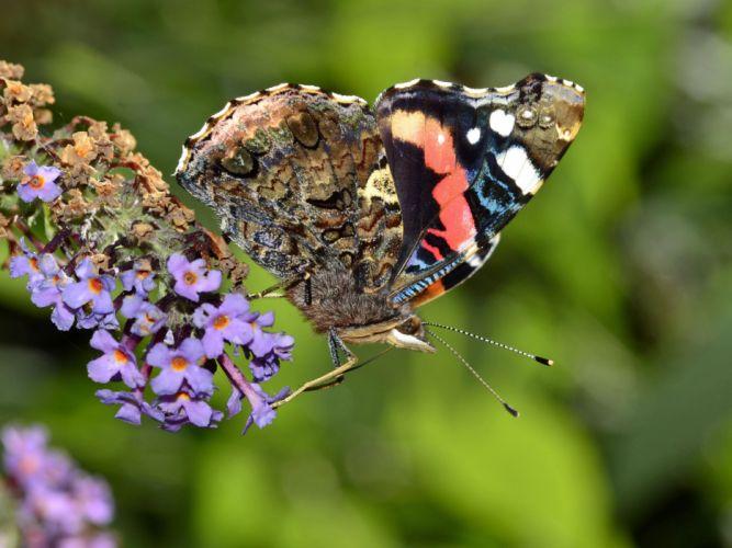 butterfly admiral flower wallpaper