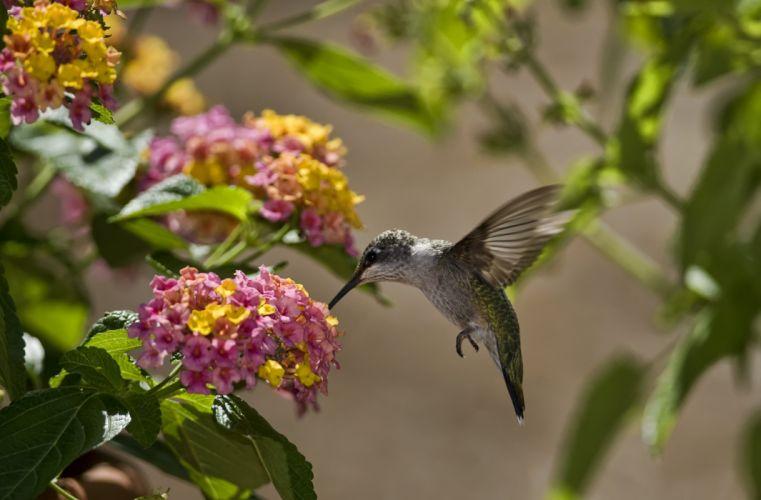 birds hummingbird wallpaper