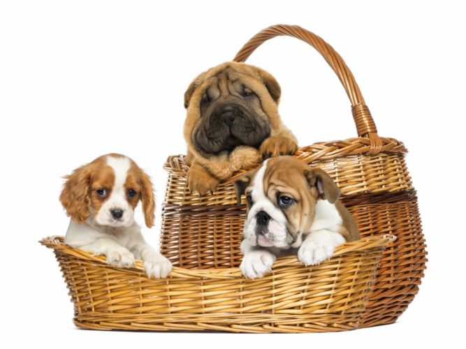 Dogs Three 3 Wicker basket Shar Pei Puppy wallpaper
