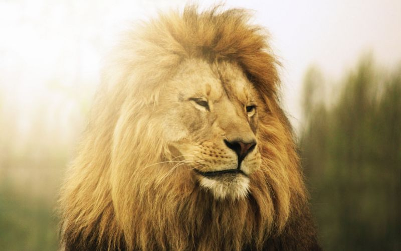 lion beast king wallpaper