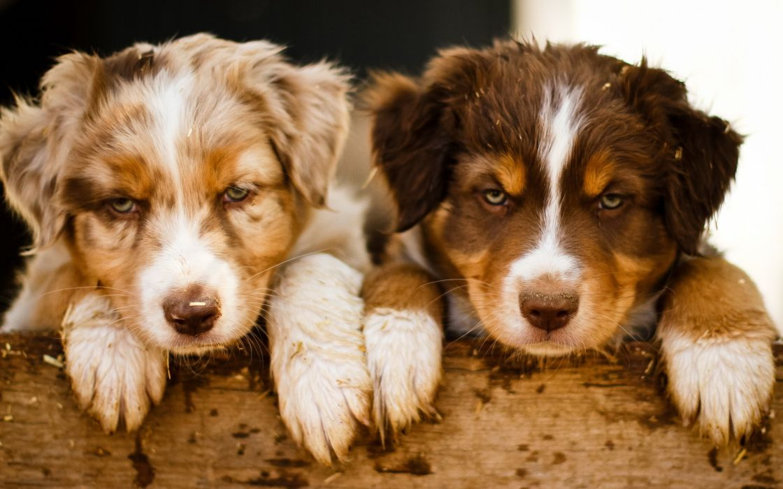 puppies dogs puppy wallpaper