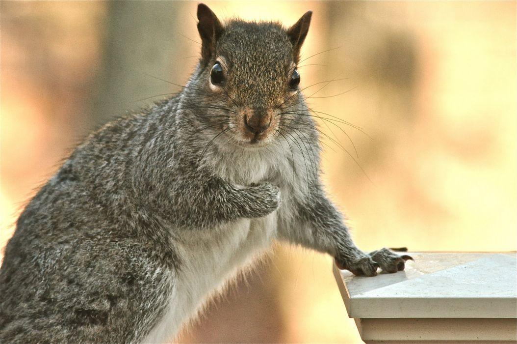 Rodents Squirrel wallpaper