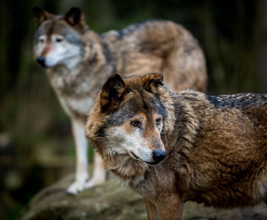 wolves predators wildlife wolf wallpaper