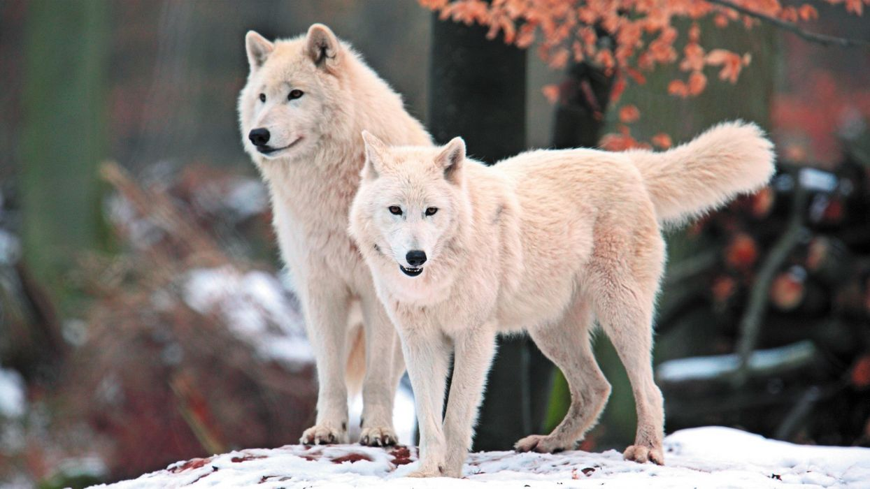 Wolves Arctic Wolf wallpaper