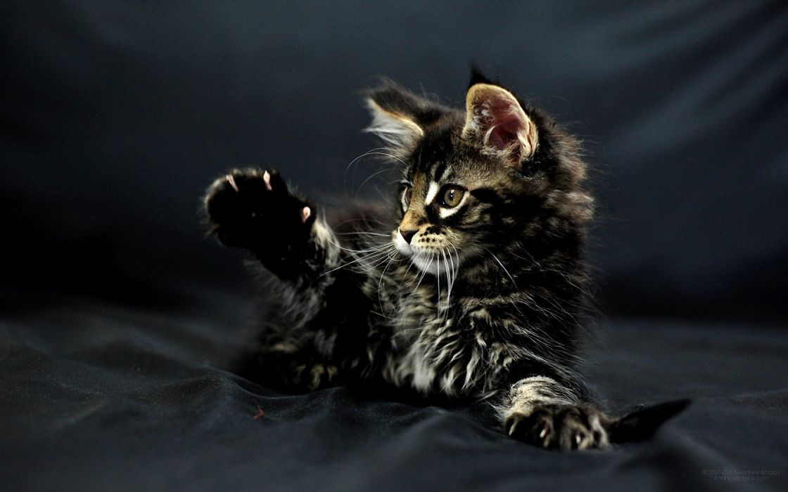 LOL CATS cat humor funny kitten wallpaper