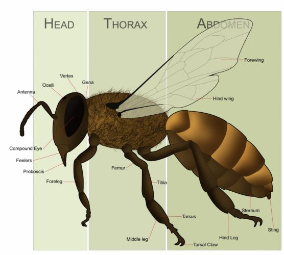 bee insect bees poster wallpaper