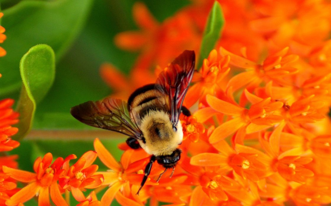 bee insect bees flower flowers wallpaper