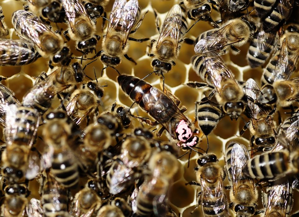 bee insect bees wallpaper