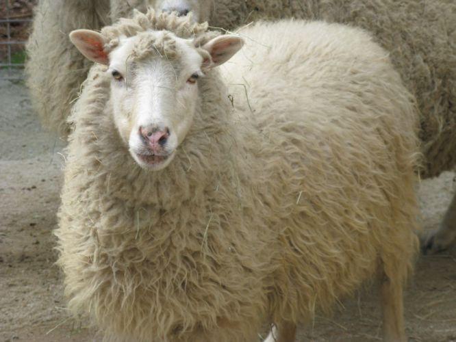 SHEEP wallpaper