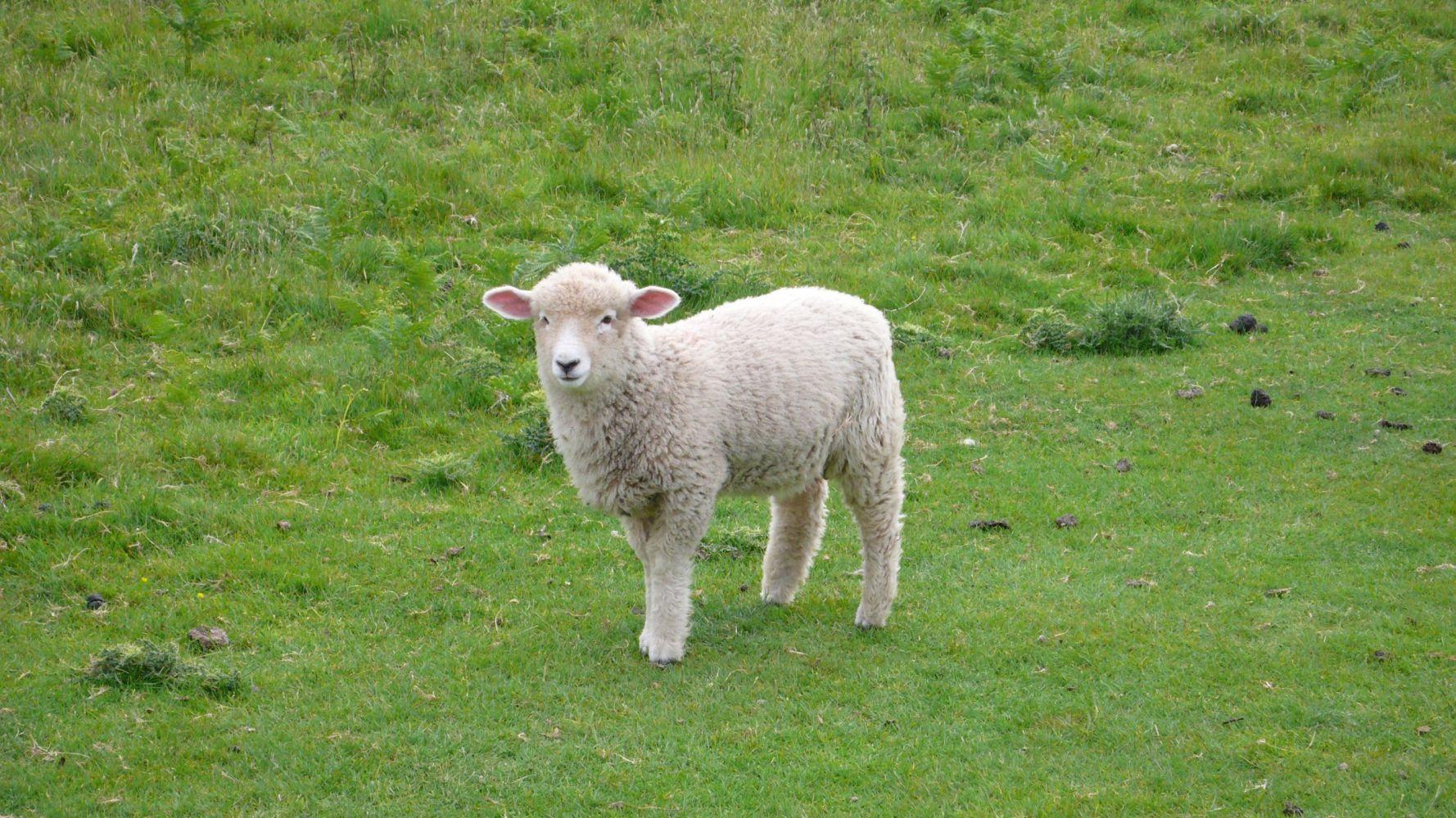 cute lamb in field